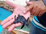 Tortugas mutantes en Cayo Largo del Sur