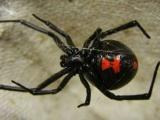 La Viuda Negra aparece en región central de Cuba